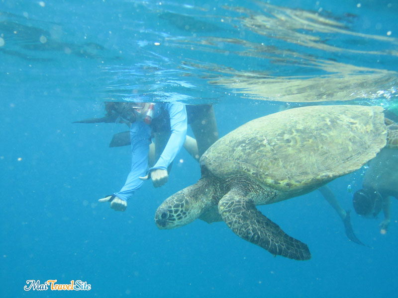 swim with turtles oahu