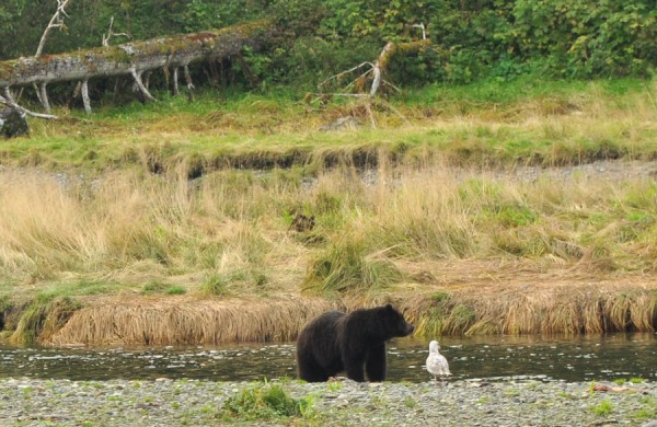 bear-watching-alaska-4