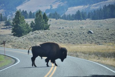 bisons north entrance yellowstone